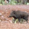 في إداوسملال إقليم تيزنيت … الخنزير البري يهدد نبتة الصبار بالزوال