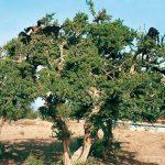 استنزاف ثروة شجرة الأركَان بمناطق تازروالت والسلطات غائبة
