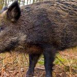 الخنزير البري بإمجاض يرسل سائح أجنبي إلى مستشفى تيزنيت
