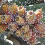 وزارة الفلاحة:  6,85 هكتار من نبات الصبار مصاب بالحشرة القرمزية بسيدي إفني