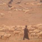الرعاة الرحال يعتدون على مواطنين ضواحي تيزنيت وعلى ممتلكاتهم