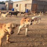 انتشار الكلاب الضالة يـُقلق راحة ساكنة جماعة سبت النابور وجمعية تطلق نداء الاستغاثة