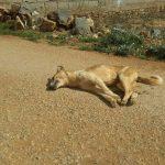 سيدي إفني ... كلاب ضالة مسعورة تـُهاجم ساكنة إمجاض بعدد من المناطق في واضحة النهار