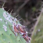 الحشرة القرمزية .. الخطر الذي يهدد صبار أيت بعمران