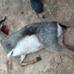 ذبح غزالة و سلخها يقود إلى اعتقال عصابة الصيد الممنوع بضواحي تيزنيت