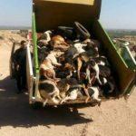 حملة إبادة للكلاب الضالة تنتهي بإعدام أزيد من 80 كلبا بالرصاص ضواحي إفني